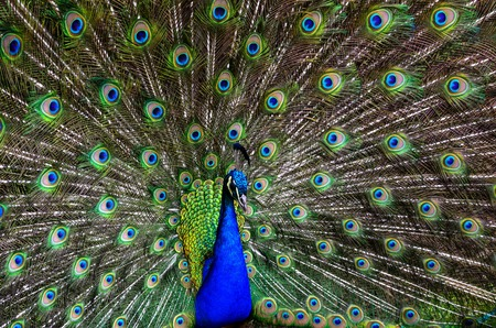 Peacock in natural conditions. One can see a beautiful bird coloring. Imagens