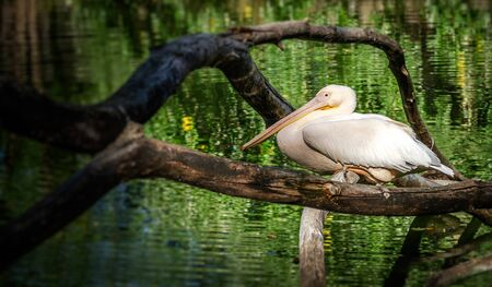 A white pelican on a tree branch.