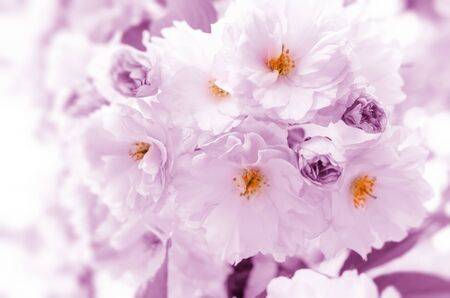Blossoming pink cherry blossoms.