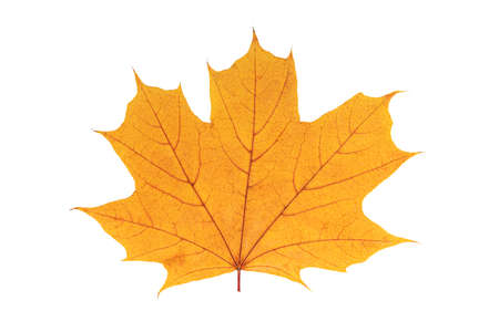 Autumn yellow leaf isolated on a white background.