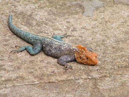 Agama Lizard with Orange Head and Blue Tail photo