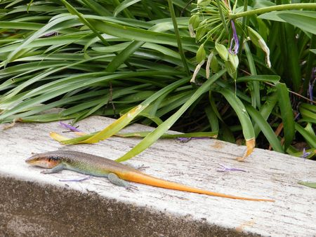Common Flat Lizard with Orange Tail - Cordylidae Family Stock Photo - 6625942