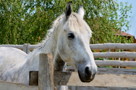 Portrait of a white horse 34 on the background of leaves and eco house.
