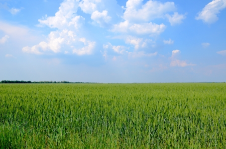 Green wheat field and blue cloudy sky, horizon,