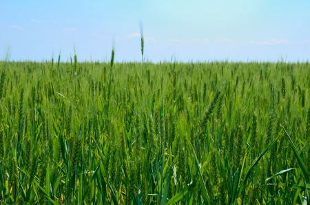 The wheat field, green field, blue sky.