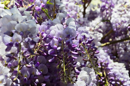 Glicine ( wisteria ) flowers close up. Blue, white, perple, yellow colors. Stock Photo