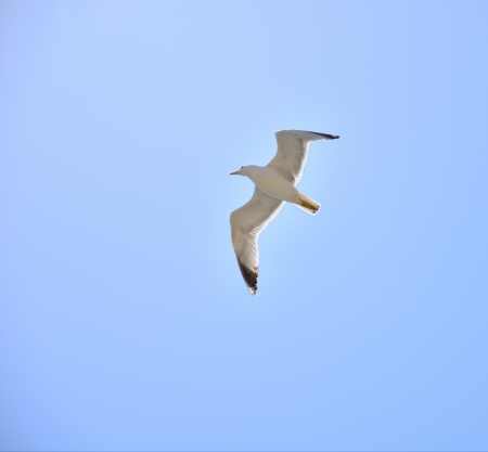 seagull hovering in the blue sky. bottom view