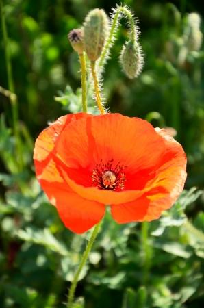 poppy flower buds on green background Stock Photo - 20381851