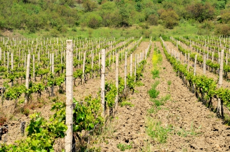 vineyard, mountain, forest, young plants