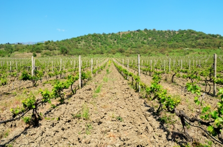vineyard, mountain, azure blue sky, young plants photo