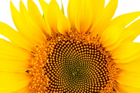 sunflower close-up isolated on white background   bright yellow petals, stamens clear