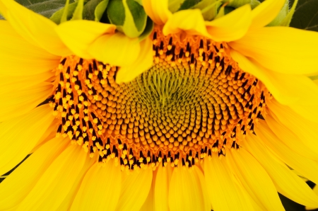 sunflower on a full background at an angle from below  bright yellow petals, stamens clear