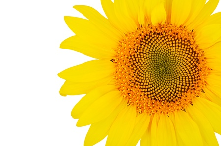 big sunflower close-up on the right isolated on white background   bright yellow petals, stamens clear  Stock Photo - 21853536