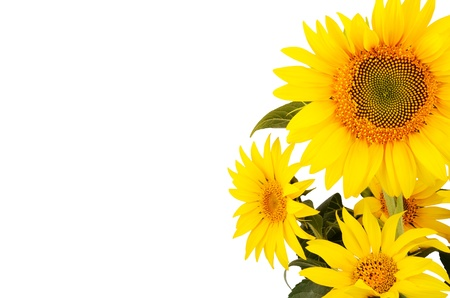 bouquet of sunflowers on the right close-up isolated on white background   bright yellow petals, stamens clear  Stock Photo - 21853547