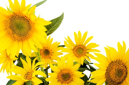 large bouquet of sunflowers close-up isolated on white background   bright yellow petals, stamens clear  Stock Photo - 21853551