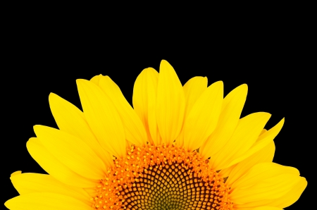 sunflower close-up from the bottom of the image isolated on black background   bright yellow petals, stamens clear Stock Photo - 21853549