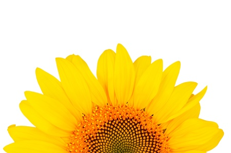 sunflower close-up from the bottom of the image isolated on white background   bright yellow petals, stamens clear  Stock Photo - 21853538