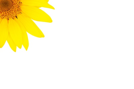 sunflower close-up in the upper corner isolated on white background   bright yellow petals, stamens clear  Stock Photo