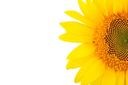 sunflower close-up isolated on white background   bright yellow petals, stamens clear  Stock Photo - 21853543