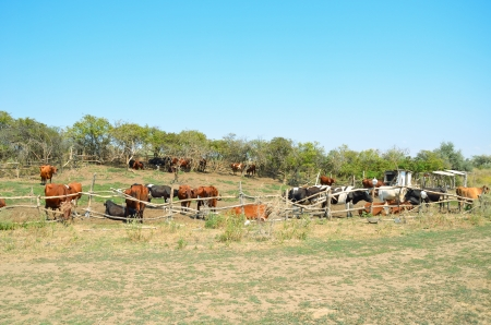 Cows in the pasture corral. Fencing, trees, grass, a herd of cattle. Summer, blue sky, rural landscape.