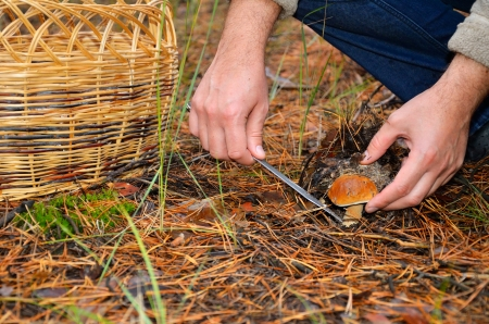 fungous: hands of men cutting edible mushroom knife. there are a basket on the ground in the forest.