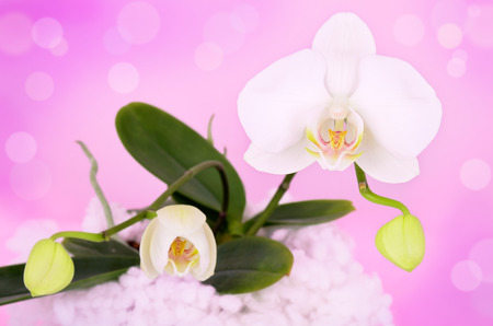 flowers and buds phalaenopsis orchid on a pink. plant growing in a pot. pink purple, bokeh. horizontal Stock Photo