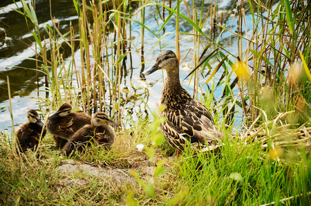 duck with ducklings in the reeds horizontal