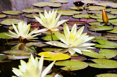 yellow lotus flowers, bud and leaves in the pond. top view. horizontal Stockfoto