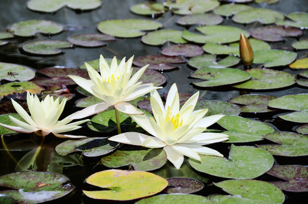 white lotus flowers in the pond. horizontal Stock Photo