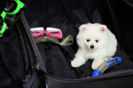 nurseling: Pomeranian puppy lying in a suitcase. horizontal