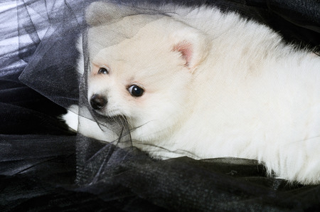 Pomeranian puppy lying on the black fabric and chews it. horizontal photo