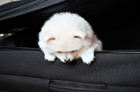 Pomeranian puppy peeking out of a black suitcase down. horizontal