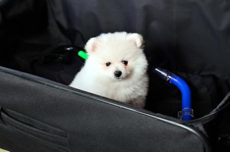 nurseling: Pomeranian puppy sitting in a suitcase. horizontal