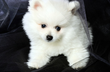 mouth cloth: Pomeranian puppy sitting on a black cloth. horizontal Stock Photo