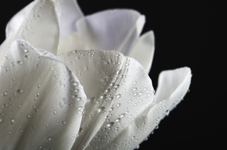 horizontal format: white tulip petals with water drops on a dark background. horizontal format