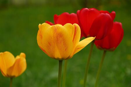 yellow and red tulips on a green background closeup