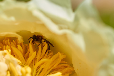 close up food: a bee collects pollen from flower