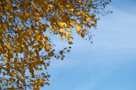 birch branches with yellow autumn leaves against the blue sky
