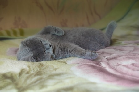 Scottish fold cat sleeping on the couch