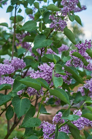 blooming lilac Bush against the blue sky Stok Fotoğraf