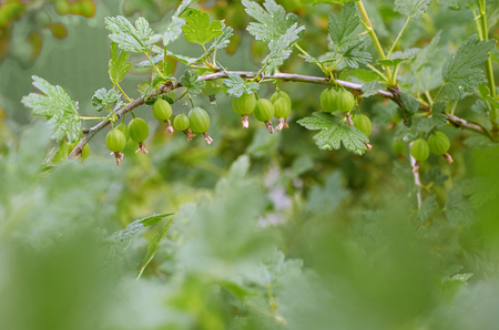 unripe gooseberries on the branch of a Bush Archivio Fotografico - 125432022