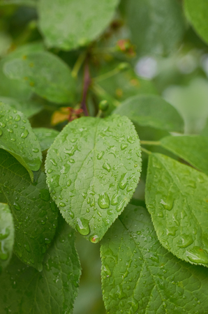 raindrops on the leaves of a tree close-up Stok Fotoğraf - 125432024