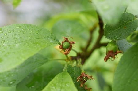 immature plum fruit grows on the tree Stok Fotoğraf