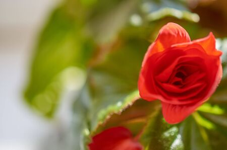 blooming red flower begonia close-up on a background of green leaves