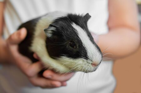 a child holding a short-haired Guinea pig black and white color close-up