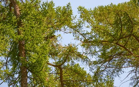 Coniferous trees crowns against the blue sky in summer 스톡 콘텐츠