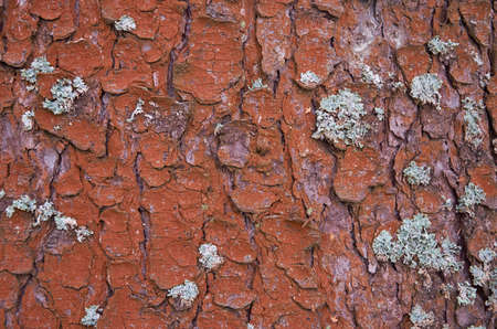 Texture of coniferous tree bark. Close up. horizontal format Stok Fotoğraf