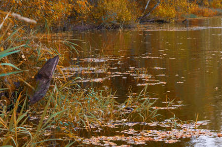 Autumn landscape. Lake shore in the forest with fallen leaves on the water. Sunny autumn day