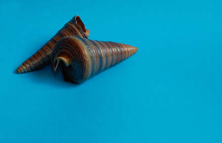 Marine layout. Two seashells on a blue background. Space for text