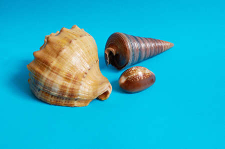 Marine layout. Three seashells on a blue background. Space for text